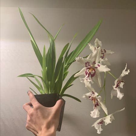 Photo of the plant species Stargazer orchid by Thekookykodama named Ursala on Greg, the plant care app