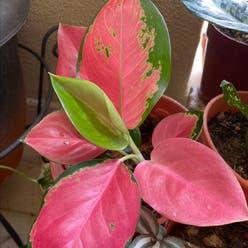 Aglaonema 'Red Valentine' plant