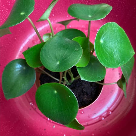 Photo of the plant species Raindrop Peperomia by Greenpaintedhome named Pilea on Greg, the plant care app