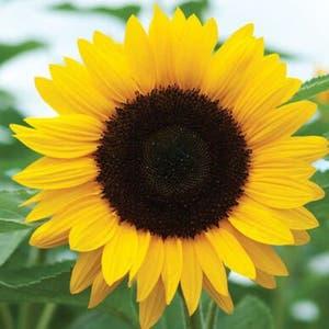 Common Sunflower plant photo by Kizwiz named Marley on Greg, the plant care app.