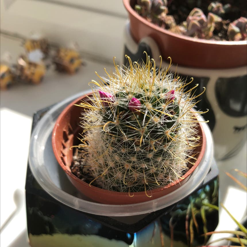 Silver Cluster Cactus plant in Somewhere on Earth