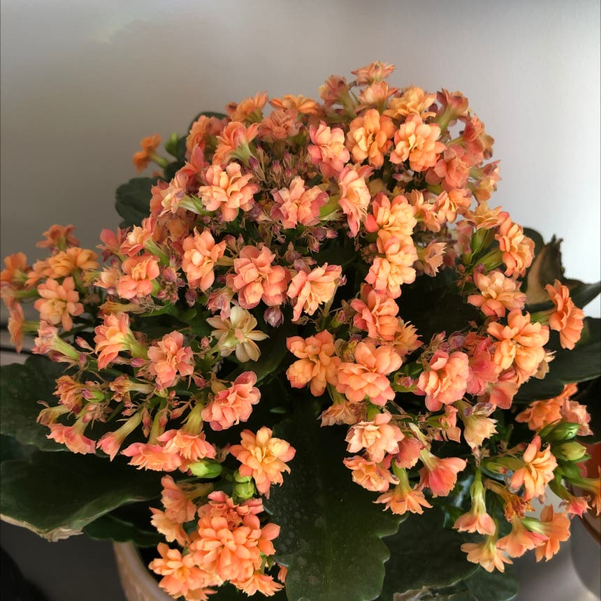 Florist Kalanchoe plant in Somewhere on Earth