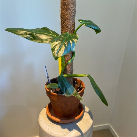 Photo of the plant species Philodendron subhastatum by Gordo named Subhastatum on Greg, the plant care app