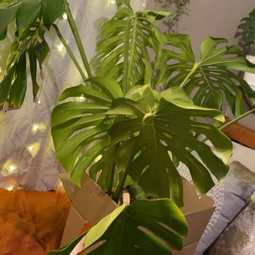Monstera plant in San Jose, California