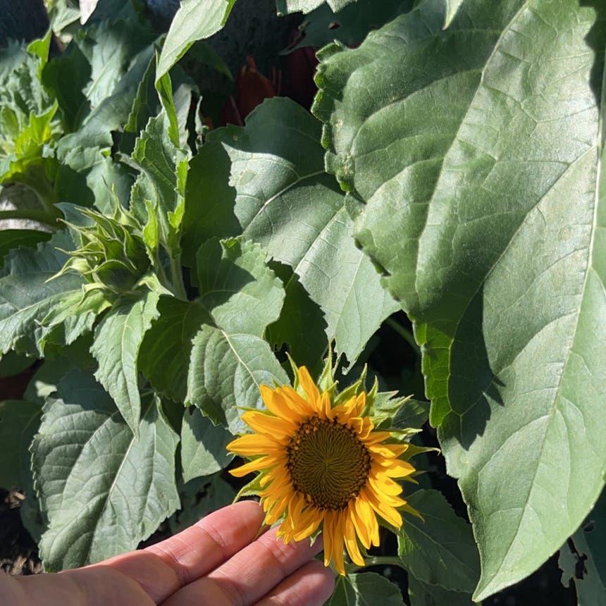Common Sunflower plant in San Jose, California