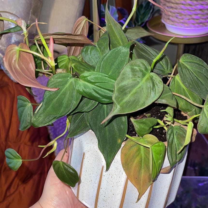 Philodendron 'Micans' plant in San Jose, California