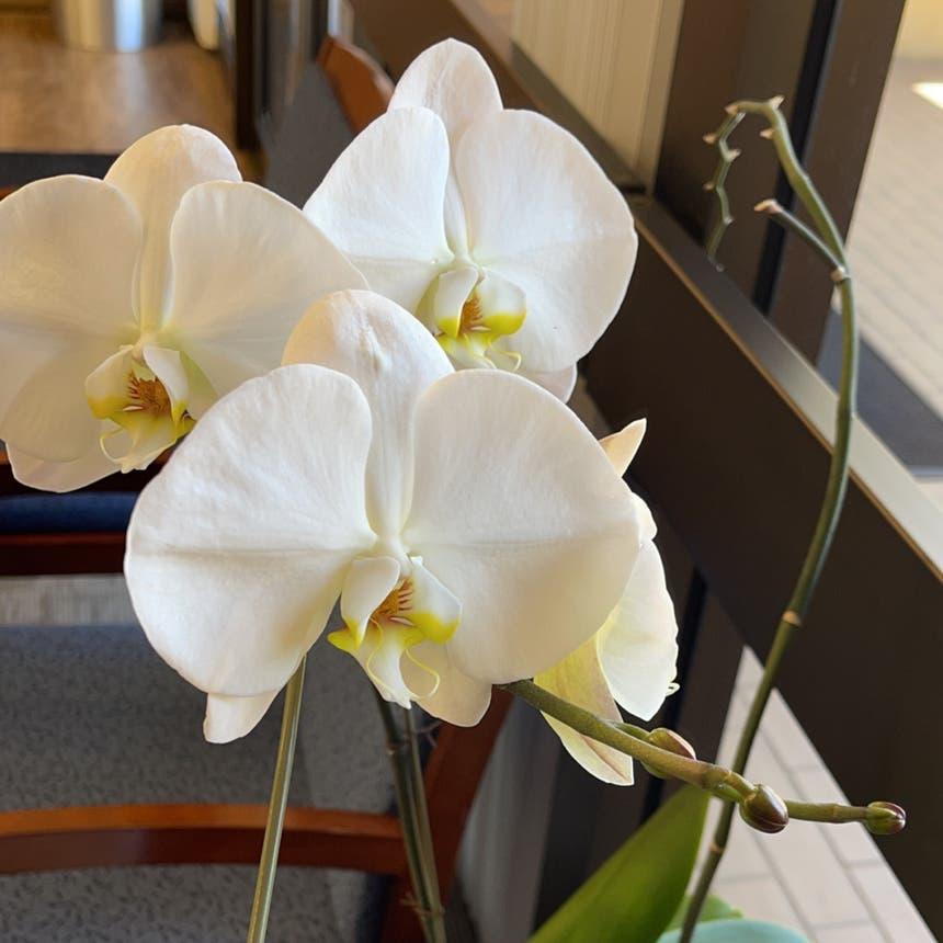 Phalaenopsis orchid plant in San Jose, California