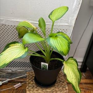 Hosta 'Patriot' plant photo by Plantfanatec named Jasmine on Greg, the plant care app.