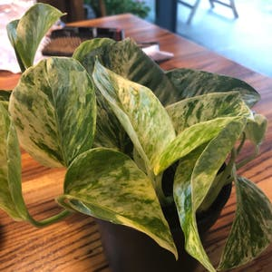Rating of the plant Marble Queen Pothos named marble by Charza on Greg, the plant care app
