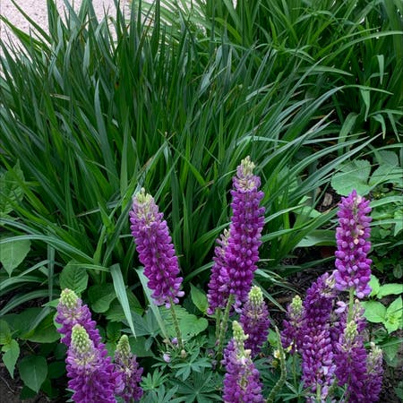 Photo of the plant species Big-leaved lupine by Alw3278 named Your plant on Greg, the plant care app