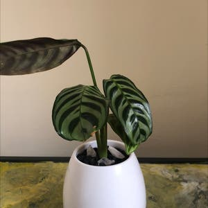 Fishbone Prayer Plant plant photo by Laurens99 named Cali on Greg, the plant care app.