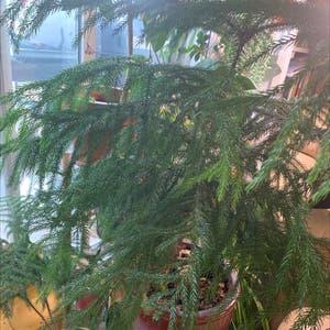 Norfolk Island Pine plant photo by Annastasiavonbeaverhausen named Big pine on Greg, the plant care app.