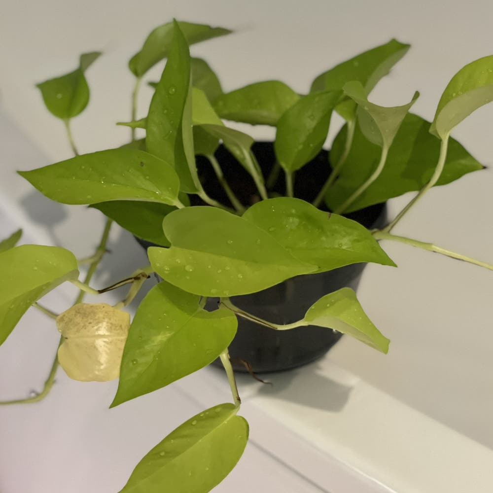 Photo of the plant species Neon Pothos by Spiderolga named Lilo on Greg, the plant care app