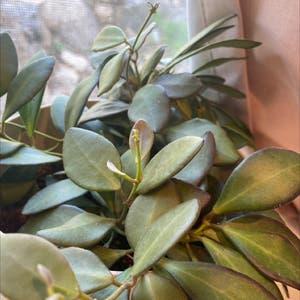 Hoya Carnosa Tricolor plant photo by Adriana named Rita on Greg, the plant care app.