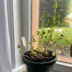 Italian Parsley plant photo by Maximumred named Papi on Greg, the plant care app.