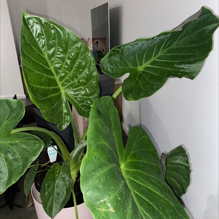 Photo of the plant species Hardy Elephant Ears by Shaethompson named Your plant on Greg, the plant care app