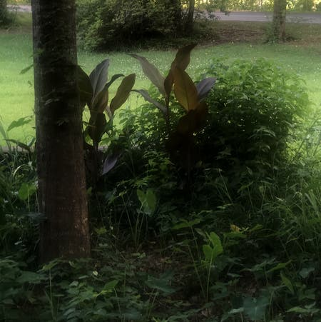 Photo of the plant species Canna Lily by Kaylee named Jackie on Greg, the plant care app