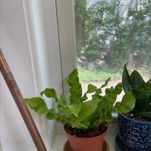 Crispy Wave Fern plant photo by Tiana named Kobe on Greg, the plant care app.