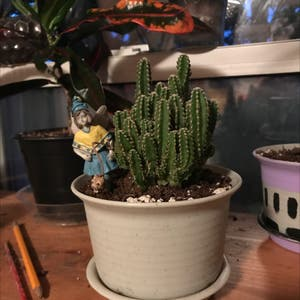 Fairy Castle Cactus plant photo by Cactusmomma named Glados on Greg, the plant care app.