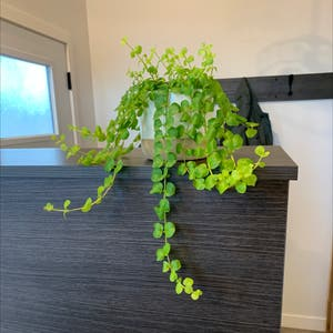 Creeping Jenny plant photo by Evergreengarden named Rosa on Greg, the plant care app.