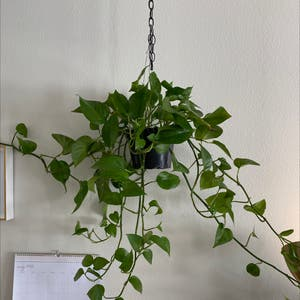 Pothos 'Jade' plant photo by Mahrilee named Reggie on Greg, the plant care app.