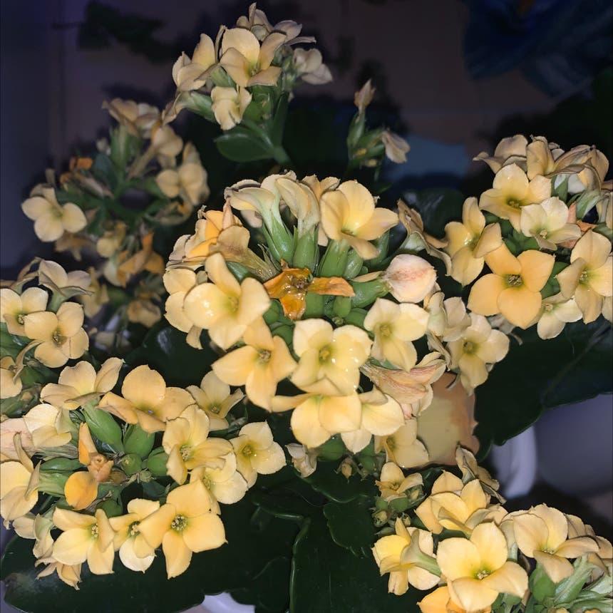 Florist Kalanchoe plant in Markham, Ontario