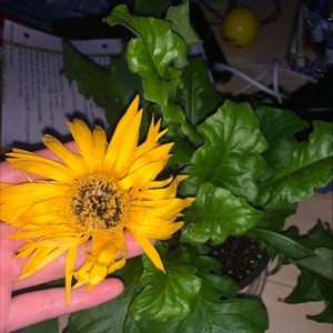 Rating of the plant Common Sunflower named samuel by Sadie on Greg, the plant care app