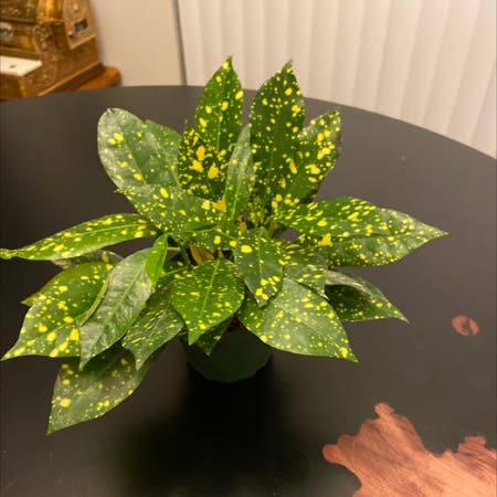 Photo of the plant species Japanese laurel by Nicolethompson named Specked Plant on Greg, the plant care app