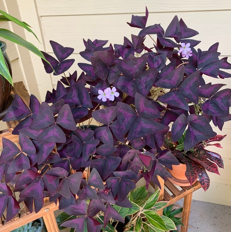Photo of the plant species Oxalis Triangularis by Nofancynames named Caio on Greg, the plant care app