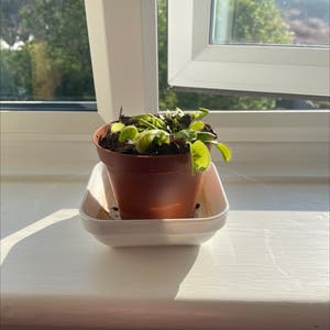 Venus Fly Trap plant photo by Elscher07 named Banana on Greg, the plant care app.