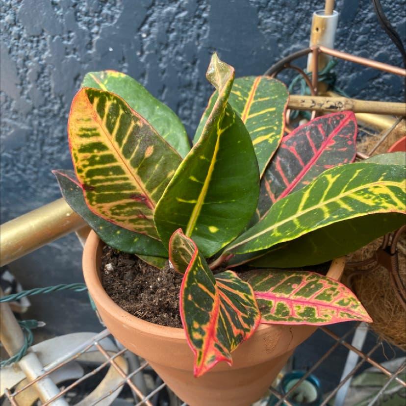 Croton 'Petra' plant in Salt Lake City, Utah