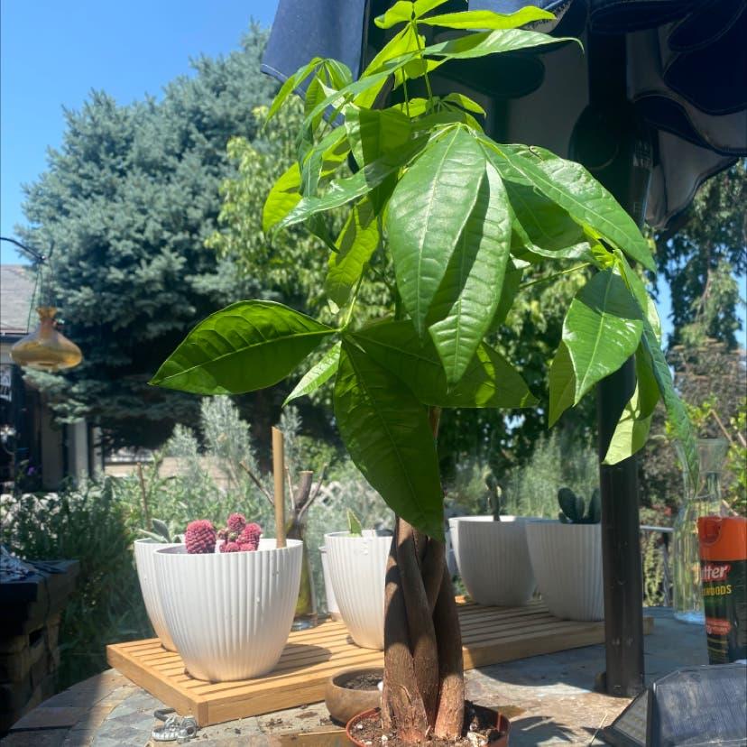 Money Tree plant in Salt Lake City, Utah