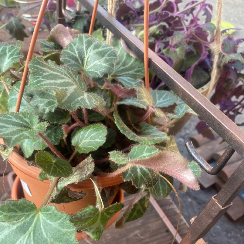 Strawberry Begonia plant in Salt Lake City, Utah