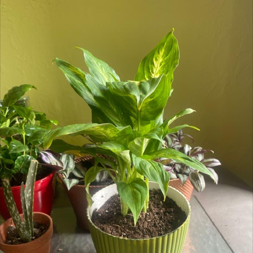 Dieffenbachia 'Camille' plant in Salt Lake City, Utah