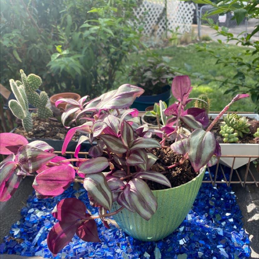 Zebrina plant in Salt Lake City, Utah