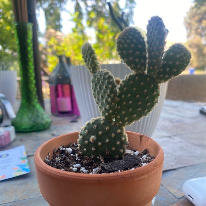 Miniature Cinnamon Cactus plant in Salt Lake City, Utah