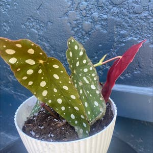Rating of the plant Polka Dot Begonia named Lady Luck by Mccall on Greg, the plant care app