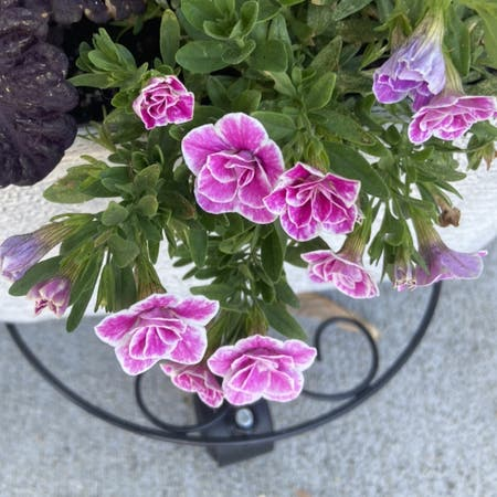 Photo of the plant species Superbells Doublette Love Swept by Kelci named Sol on Greg, the plant care app
