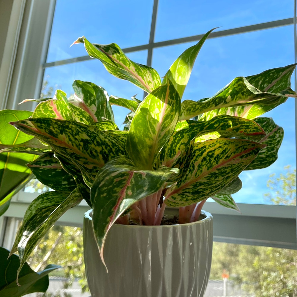 Photo of the plant species Aglaonema 'Sparkling Sarah' by Hkhalifeh named Sephora on Greg, the plant care app