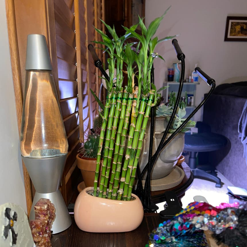 Lucky Bamboo plant in Somewhere on Earth