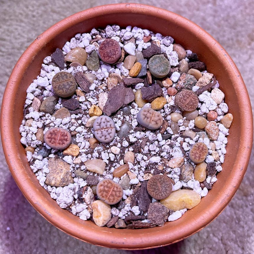 Lithops bromfieldii plant in Somewhere on Earth