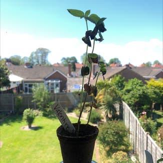 Common Sunflower plant in Gosport, England