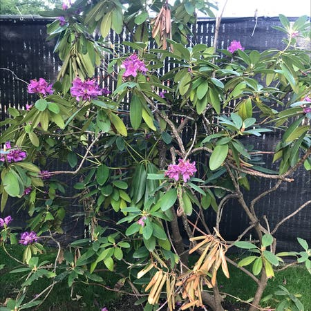 Photo of the plant species Rhododendron ponticum by Paula named Your plant on Greg, the plant care app