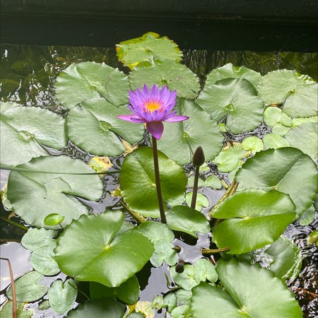 Photo of the plant species Star lotus by Rahulg named Peter Parker on Greg, the plant care app