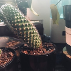 Mammillaria Formosa plant