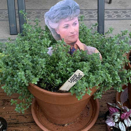 Photo of the plant species Lemon Thyme by Pottedsmiles named Maude on Greg, the plant care app