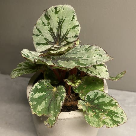 Photo of the plant species Fuzzy Begonia by Maynellsjungle named Rex on Greg, the plant care app