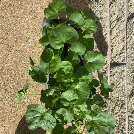 Photo of the plant species Island Tree Mallow by Momina named Plant 1 on Greg, the plant care app