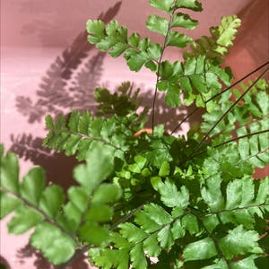 Rough maidenhair fern plant photo by Anne named williamett on Greg, the plant care app.