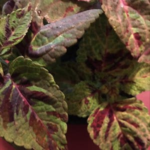 Coleus scutellarioides plant photo by Brandy named Bodhi on Greg, the plant care app.